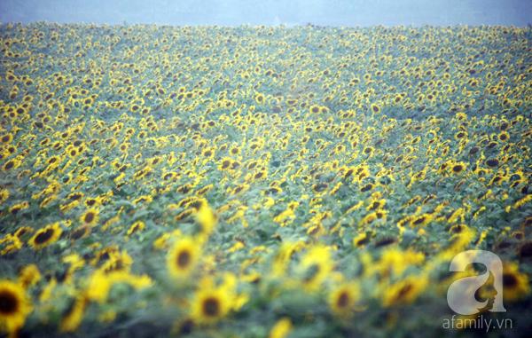 Các thiếu nữ hào hứng khoe sắc xinh đẹp cùng cánh đồng hoa hướng dương rực rỡ - Ảnh 15.