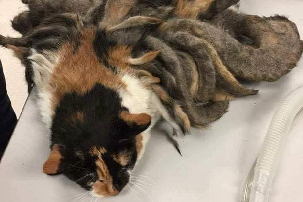 Con mèo có bộ lông như bạch tuộc khiến bạn không thể tin nổi đấy là mèo - Ảnh 2.