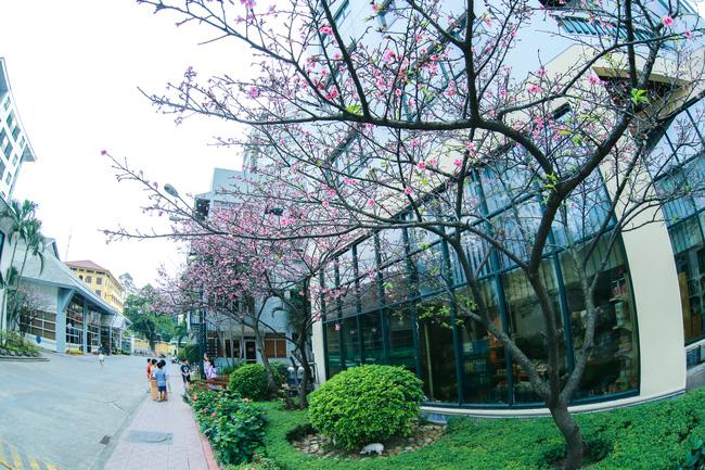 Ngay ở Hà Nội, có một nơi anh đào bung nở đẹp đẽ mà chẳng cần đợi lễ hội hoa - Ảnh 10.