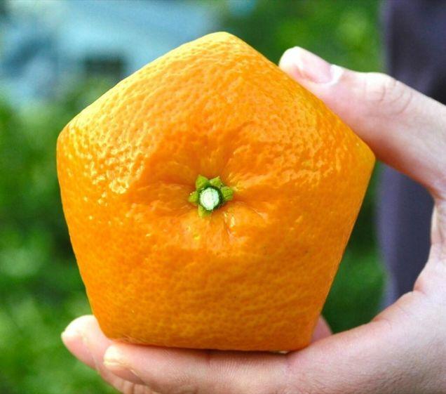 Quên dưa hấu vuông đi, Nhật Bản còn có loại cam ngũ giác thế này đây - Ảnh 2.