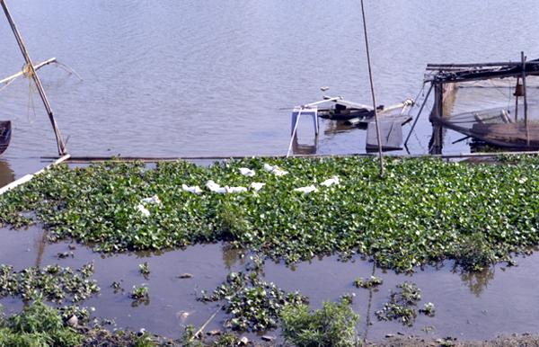 Bất ngờ trước việc người dân nuôi lợn, chăn vịt tại hồ sinh thái giữa Thủ đô 4