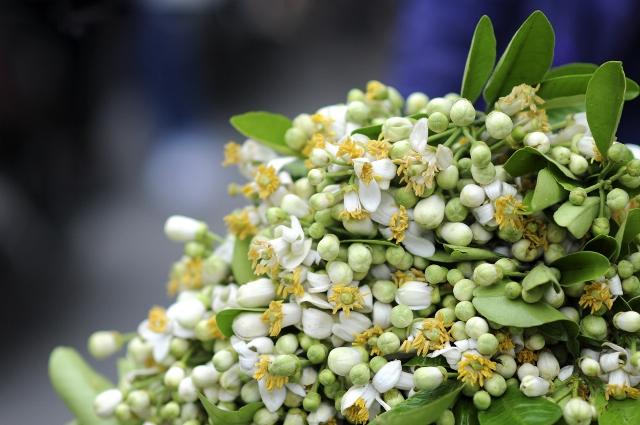 Tháng 3 mùa hoa bưởi, đừng vội bỏ qua những bài thuốc chữa bệnh này - Ảnh 1.