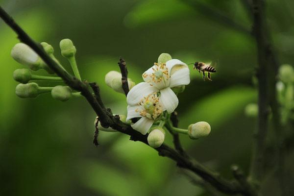 Tháng 3 mùa hoa bưởi, đừng vội bỏ qua những bài thuốc chữa bệnh này - Ảnh 3.