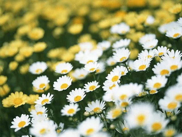 Những lợi ích sức khỏe to đùng của hoa cúc - Ảnh 1.