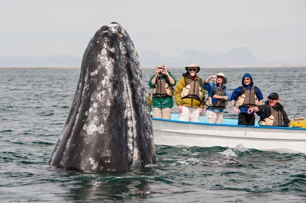 Hình ảnh cực lạ, cá voi khổng lồ ngoi lên mặt nước để được du khách vuốt ve - Ảnh 4.