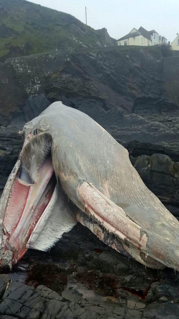Sinh vật khổng lồ trông như quái vật thời tiền sử dạt vào bờ biển - Ảnh 4.