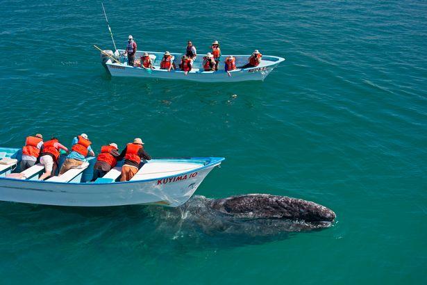 Hình ảnh cực lạ, cá voi khổng lồ ngoi lên mặt nước để được du khách vuốt ve - Ảnh 2.
