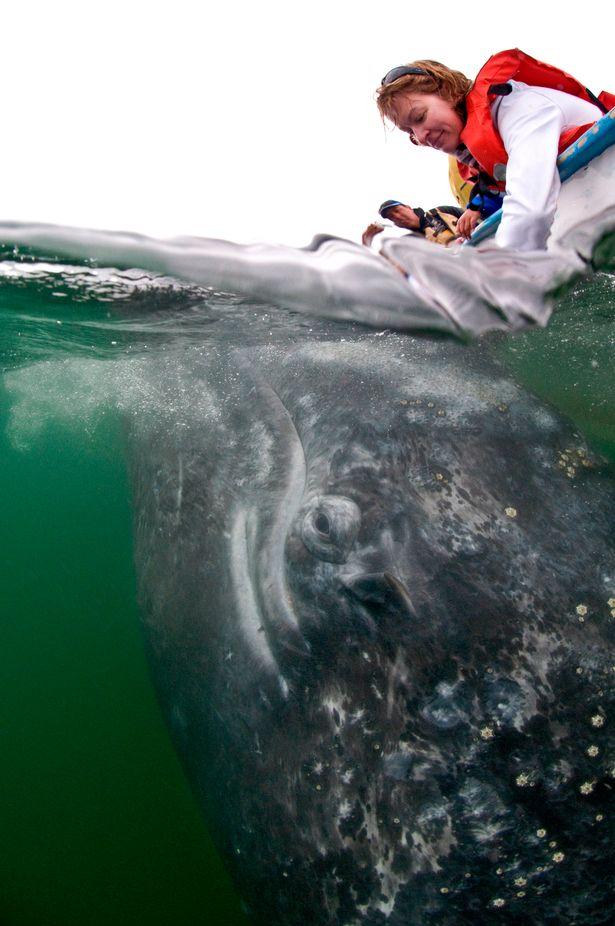 Hình ảnh cực lạ, cá voi khổng lồ ngoi lên mặt nước để được du khách vuốt ve - Ảnh 6.