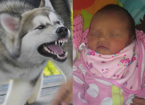 Thêm một em bé bị chó vồ chết, các phụ huynh tuyệt đối không được lơ là khi để thú nuôi tiếp cận trẻ nhỏ - Ảnh 1.
