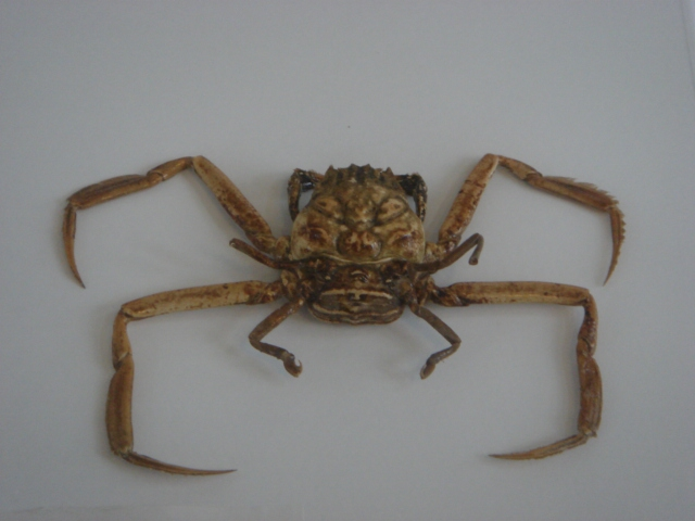 Strange crabs have identical human faces - Photo 2.