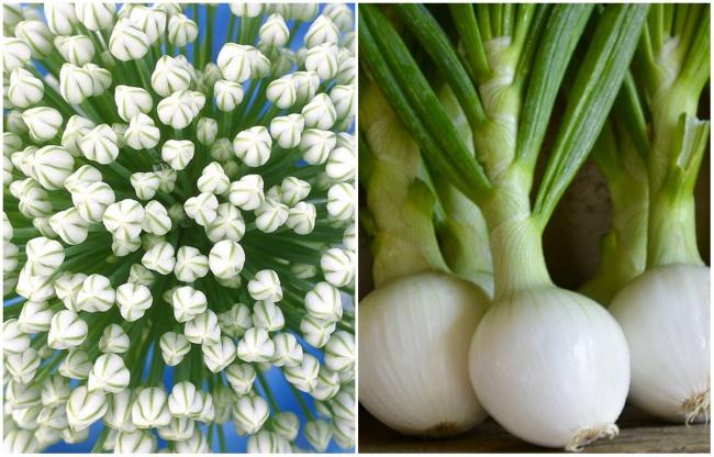 Ai cũng từng ăn củ quả quen thuộc này nhưng mấy ai biết hoa của chúng ra sao - Ảnh 3.