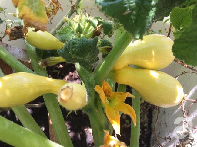 Sân thượng 10m² xanh mướt của bà mẹ dám bỏ sự nghiệp để ở nhà trồng rau, chăm con - Ảnh 5.