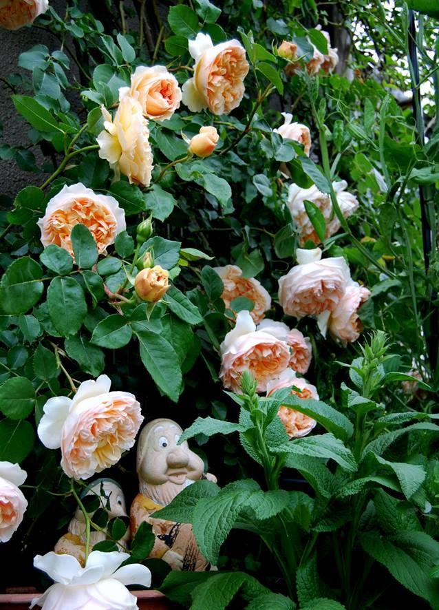 Khu vườn hoa hồng đẹp như cổ tích trên sân thượng của cô sinh viên trẻ - Ảnh 15.