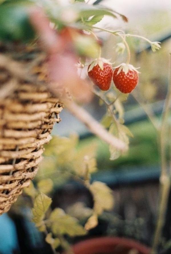 6 loại rau củ quả bạn có thể trồng trong giỏ mà vẫn sai quả, tươi tốt - Ảnh 2.