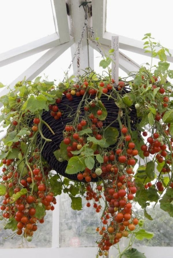 6 loại rau củ quả bạn có thể trồng trong giỏ mà vẫn sai quả, tươi tốt - Ảnh 3.