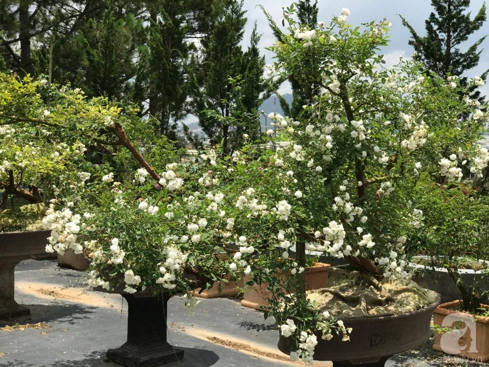 Khu Vườn Rộng 2000m Với Hang Trăm Gốc Hồng Bonsai Quy Hiếm
