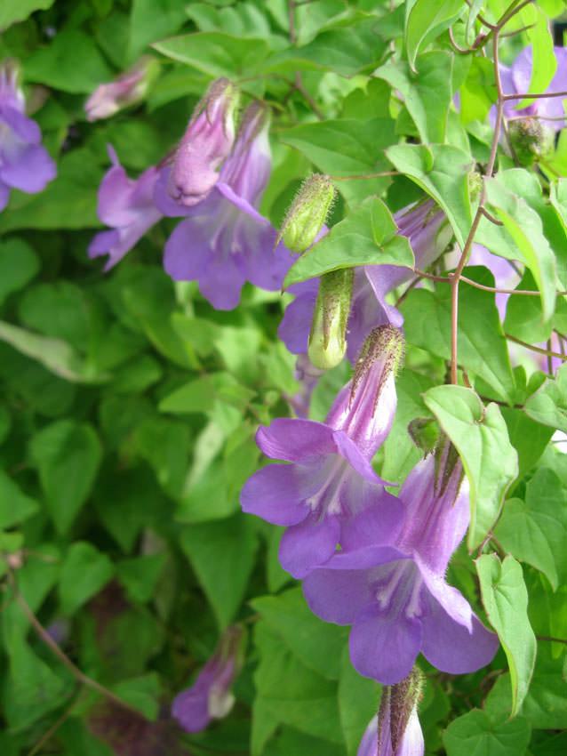 Điểm danh 11 loại cây hoa leo trang trí nhà thêm rực rỡ dù trồng trong chậu - Ảnh 1.