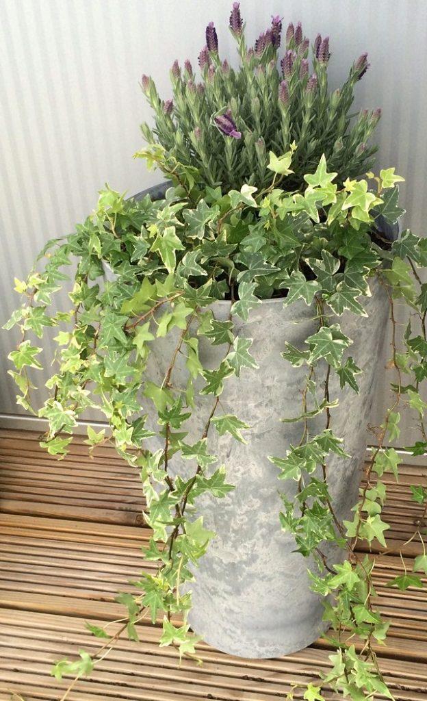 Điểm danh 11 loại cây hoa leo trang trí nhà thêm rực rỡ dù trồng trong chậu - Ảnh 2.