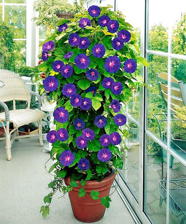 Điểm danh 11 loại cây hoa leo trang trí nhà thêm rực rỡ dù trồng trong chậu - Ảnh 3.