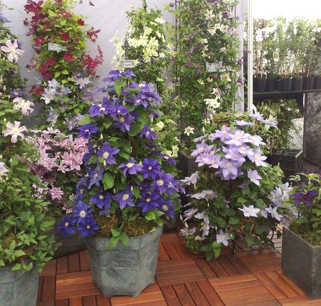 Điểm danh 11 loại cây hoa leo trang trí nhà thêm rực rỡ dù trồng trong chậu - Ảnh 4.