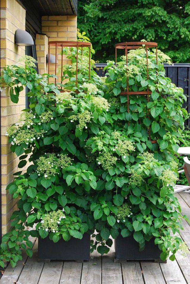 Điểm danh 11 loại cây hoa leo trang trí nhà thêm rực rỡ dù trồng trong chậu - Ảnh 5.