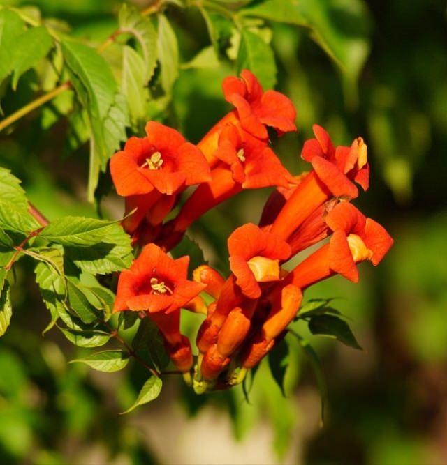 Điểm danh 11 loại cây hoa leo trang trí nhà thêm rực rỡ dù trồng trong chậu - Ảnh 6.