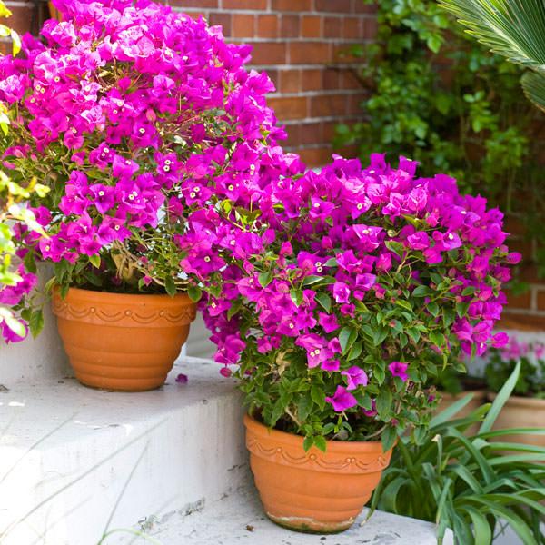 Điểm danh 11 loại cây hoa leo trang trí nhà thêm rực rỡ dù trồng trong chậu - Ảnh 7.