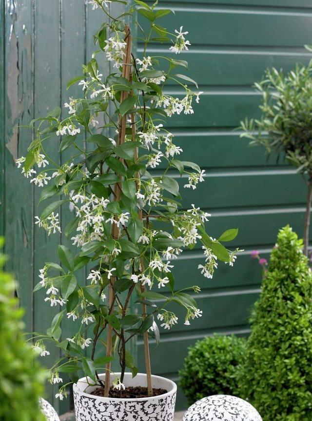 Điểm danh 11 loại cây hoa leo trang trí nhà thêm rực rỡ dù trồng trong chậu - Ảnh 8.