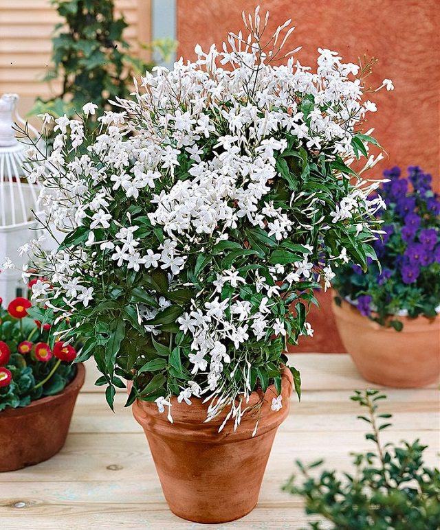 Điểm danh 11 loại cây hoa leo trang trí nhà thêm rực rỡ dù trồng trong chậu - Ảnh 9.