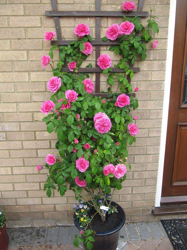 Điểm danh 11 loại cây hoa leo trang trí nhà thêm rực rỡ dù trồng trong chậu - Ảnh 10.