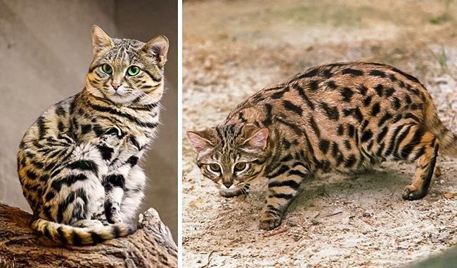 Những loài mèo hiếm nhất trên thế giới mà nhiều người chưa bao giờ biết tới - Ảnh 1.