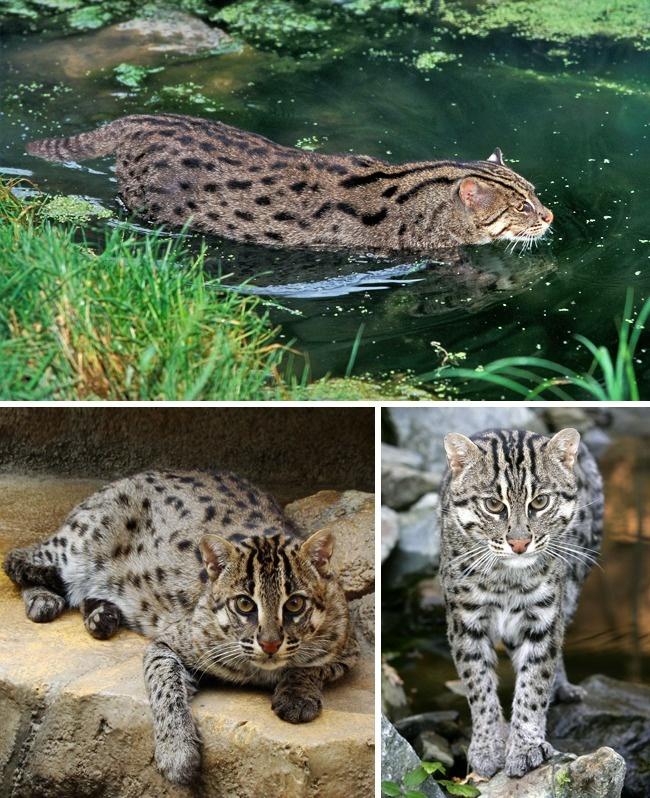 Những loài mèo hiếm nhất trên thế giới mà nhiều người chưa bao giờ biết tới - Ảnh 2.