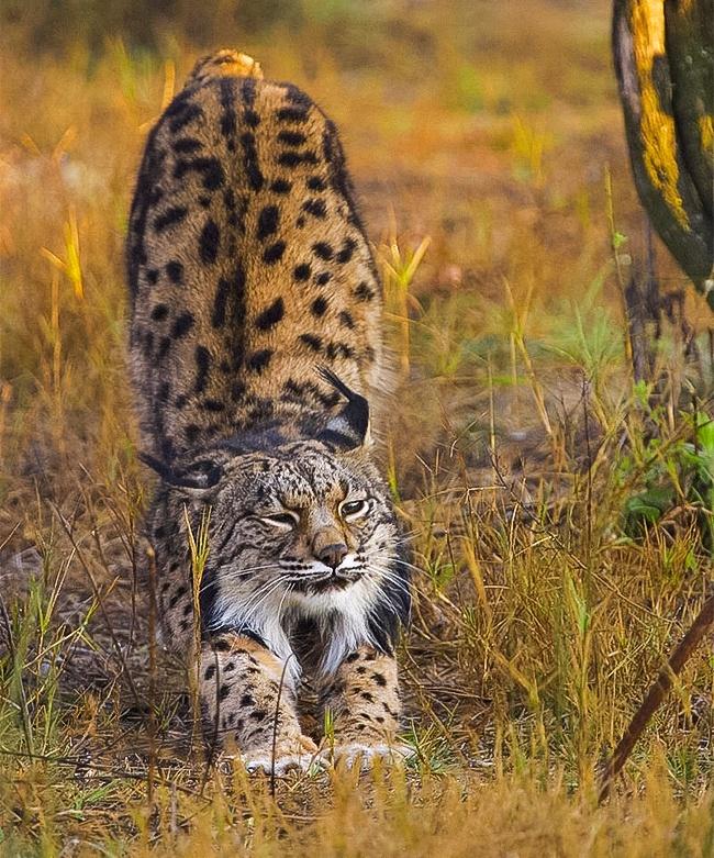 Những loài mèo hiếm nhất trên thế giới mà nhiều người chưa bao giờ biết tới - Ảnh 3.