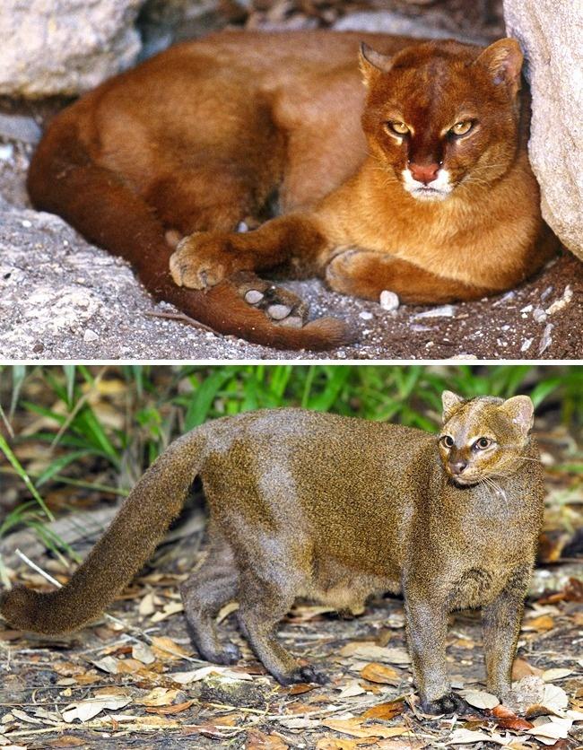 Những loài mèo hiếm nhất trên thế giới mà nhiều người chưa bao giờ biết tới - Ảnh 4.
