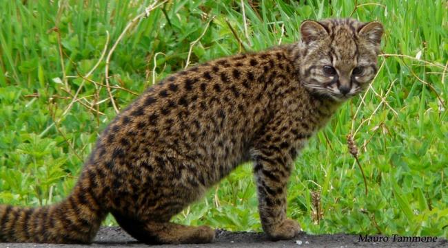Những loài mèo hiếm nhất trên thế giới mà nhiều người chưa bao giờ biết tới - Ảnh 5.
