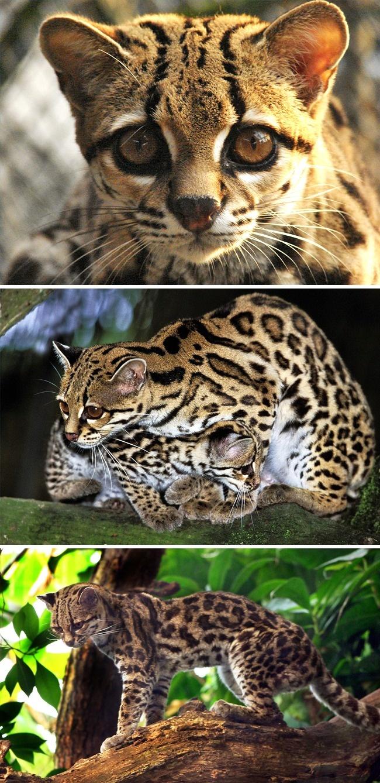 Những loài mèo hiếm nhất trên thế giới mà nhiều người chưa bao giờ biết tới - Ảnh 6.
