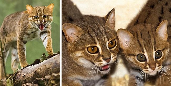 Những loài mèo hiếm nhất trên thế giới mà nhiều người chưa bao giờ biết tới - Ảnh 7.