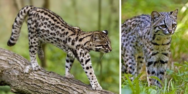 Những loài mèo hiếm nhất trên thế giới mà nhiều người chưa bao giờ biết tới - Ảnh 8.