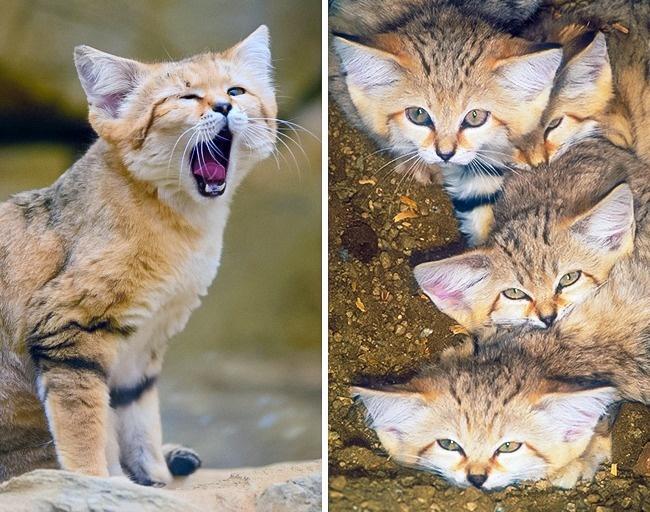 Những loài mèo hiếm nhất trên thế giới mà nhiều người chưa bao giờ biết tới - Ảnh 9.