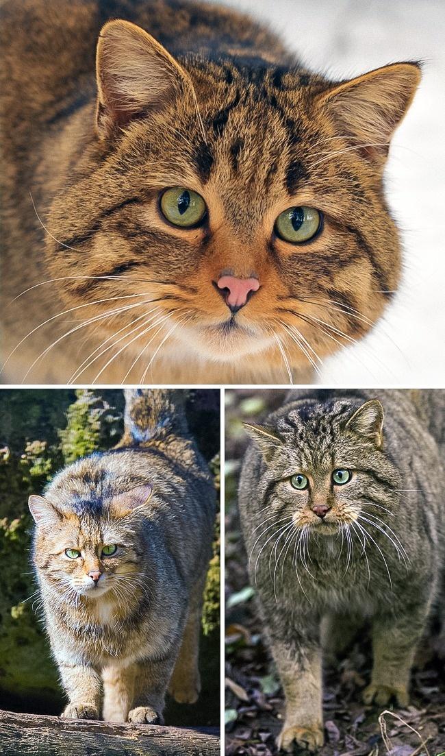 Những loài mèo hiếm nhất trên thế giới mà nhiều người chưa bao giờ biết tới - Ảnh 10.