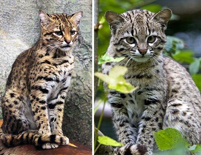 Những loài mèo hiếm nhất trên thế giới mà nhiều người chưa bao giờ biết tới - Ảnh 11.
