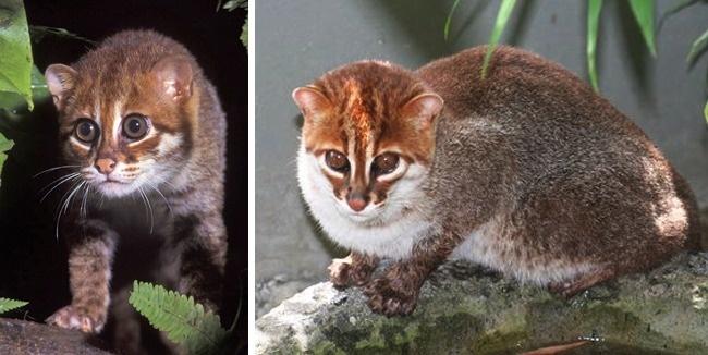 Những loài mèo hiếm nhất trên thế giới mà nhiều người chưa bao giờ biết tới - Ảnh 12.