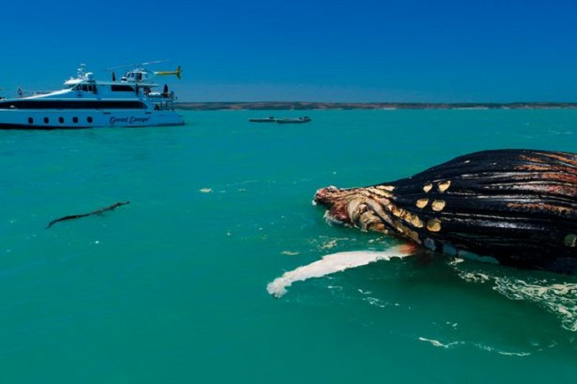 Thấy cá voi nổi lềnh bềnh trên biển, người đàn ông lại gần mới giật mình vì cảnh tượng hãi hùng - Ảnh 3.