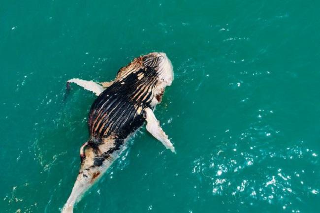 Thấy cá voi nổi lềnh bềnh trên biển, người đàn ông lại gần mới giật mình vì cảnh tượng hãi hùng - Ảnh 6.