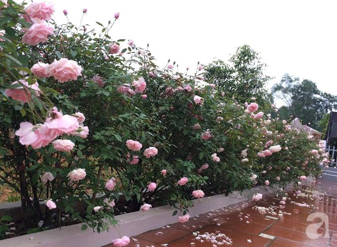 Ngất ngây trước ngôi nhà vườn trồng hàng nghìn gốc hồng nở hoa rực rỡ ở