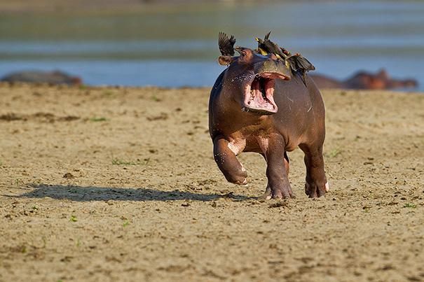 Không nhịn được cười với những khoảnh khắc tẽn tò của động vật - Ảnh 27.