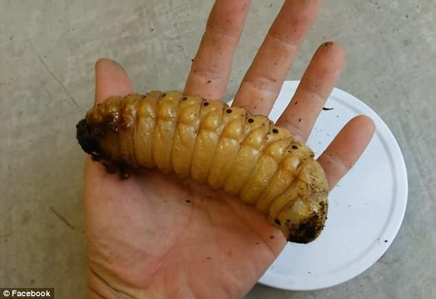 Không phải sinh vật ngoài hành tinh, đây là loài bọ khổng lồ kỳ lạ nhất trên Trái đất - Ảnh 5.