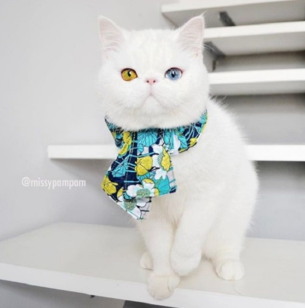 Mắc bệnh hiếm gặp, nàng mèo sở hữu 2 màu mắt tuyệt đẹp   - Ảnh 11.