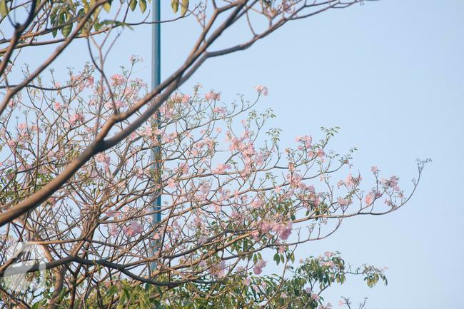 Một ngày nắng chói chang, ngắm hoa kèn hồng để thấy lòng lịm mát giữa Sài Gòn - Ảnh 2.