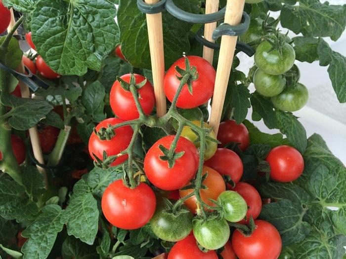 Kết quả hình ảnh cho hướng dẫn trồng cà chua